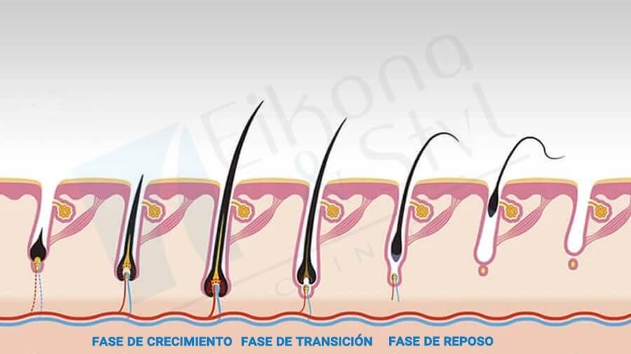 Cuál es el ciclo del pelo